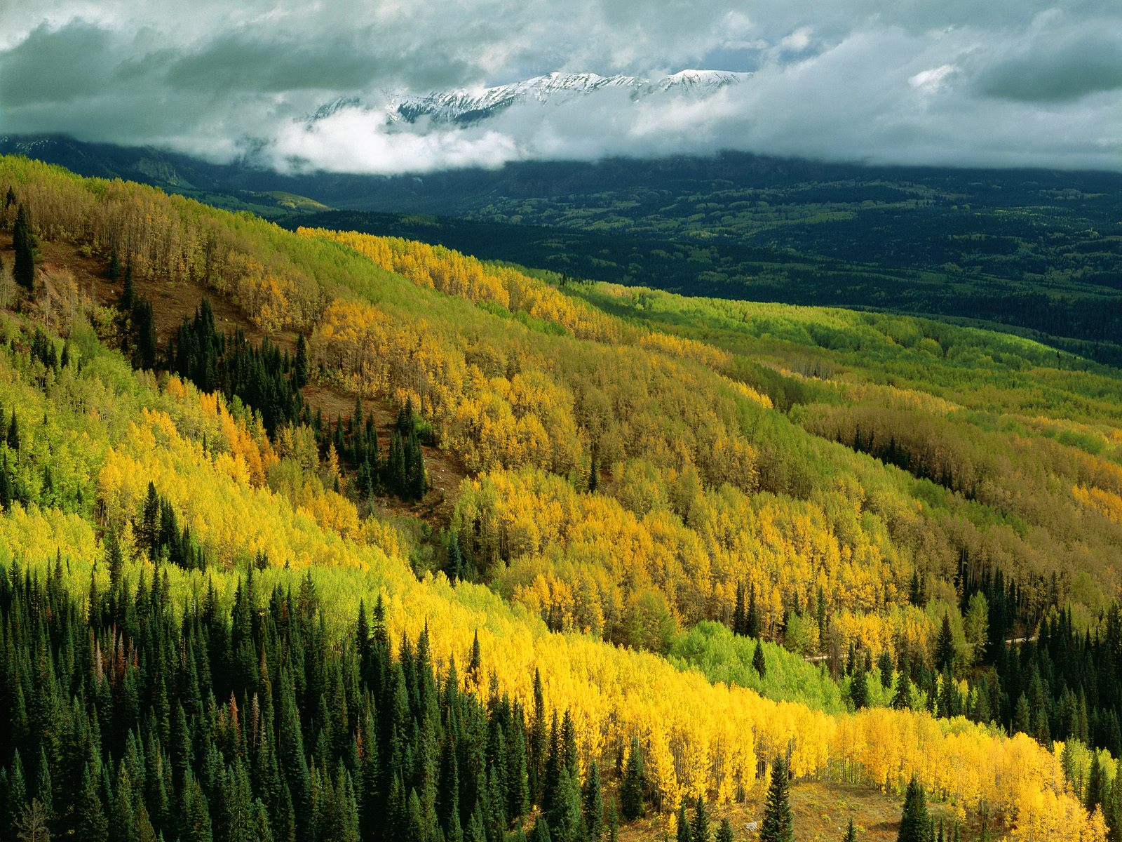 aspen forest in early fall ohio pass gunnison national
