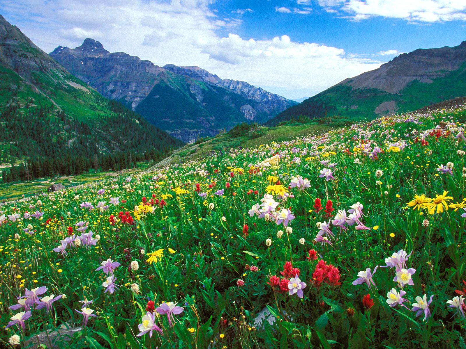 Paintbrush Columbine and Orange Sneezeweed Sneffels Range Colorado