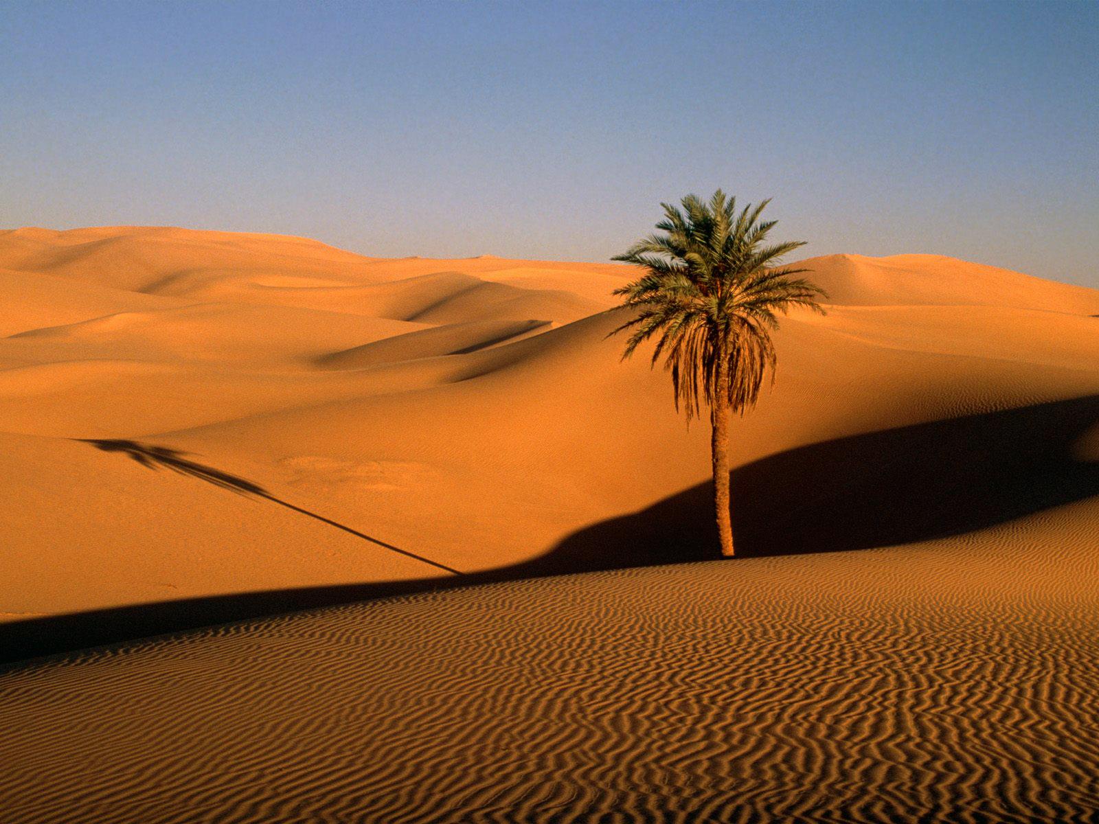 Lone Palm Sahara Desert