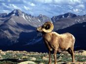 Big Horn Ram Rocky Mountain National Park Colorado