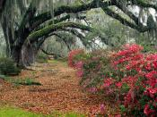 Azaleas and Live Oaks Magnolia Plantation Char